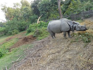 Rhinoceros in Bardiya National Park (taken from Wikimedia Commons)