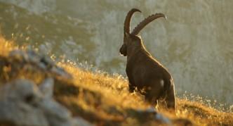 Capra ibex Credit: Felix Bazinet