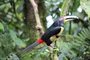 Pale mandibled aracari